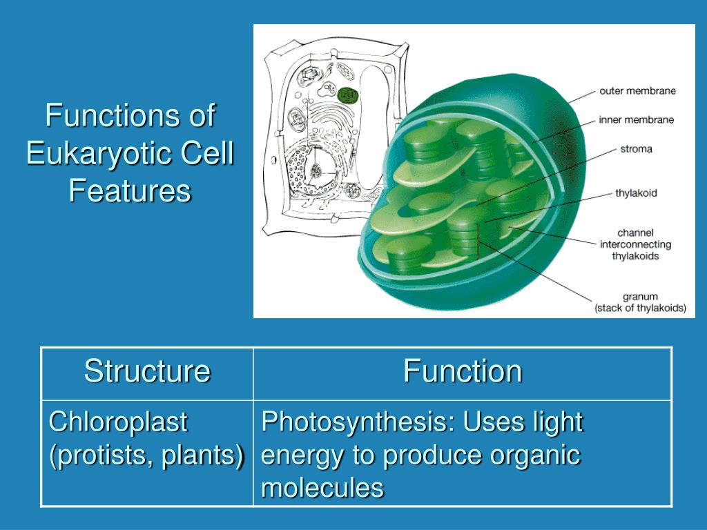 Functions of Eukaryotic Cell Features