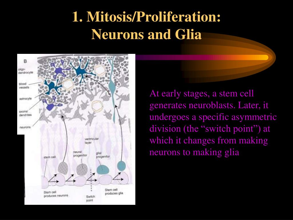 1. Mitosis/Proliferation:                  Neurons and Glia