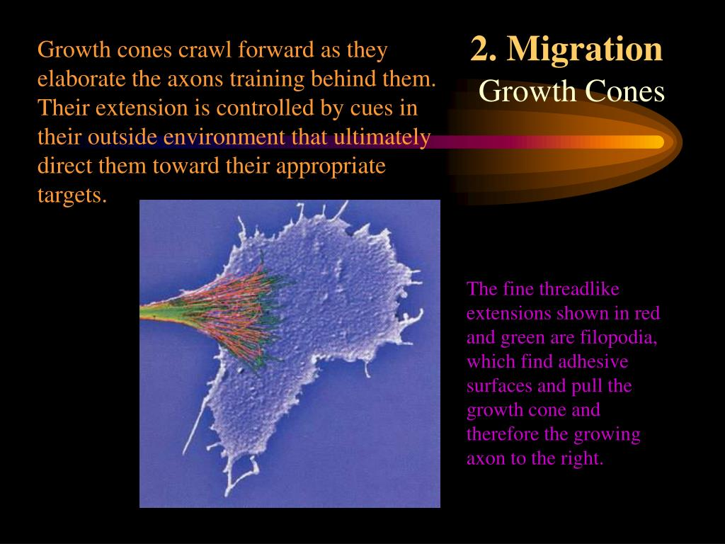 Growth cones crawl forward as they elaborate the axons training behind them. Their extension is controlled by cues in their outside environment that ultimately direct them toward their appropriate targets.