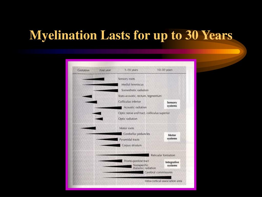 Myelination Lasts for up to 30 Years