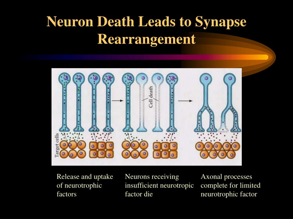 Neuron Death Leads to Synapse Rearrangement
