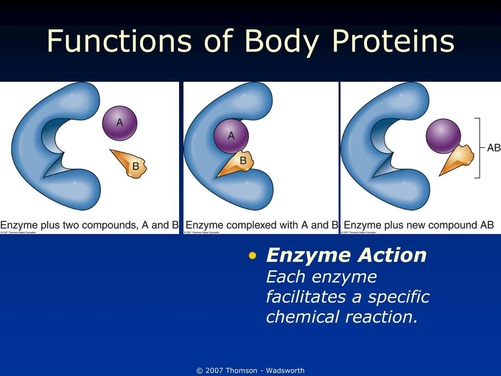 Functions of Body Proteins