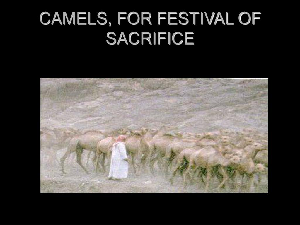 CAMELS, FOR FESTIVAL OF SACRIFICE