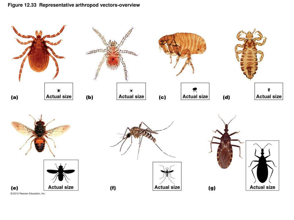 Figure 12.33  Representative arthropod vectors-overview