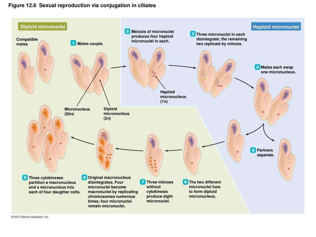 Diploid micronuclei