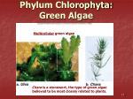 phylum chlorophyta green algae13