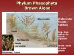 phylum phaeophyta brown algae