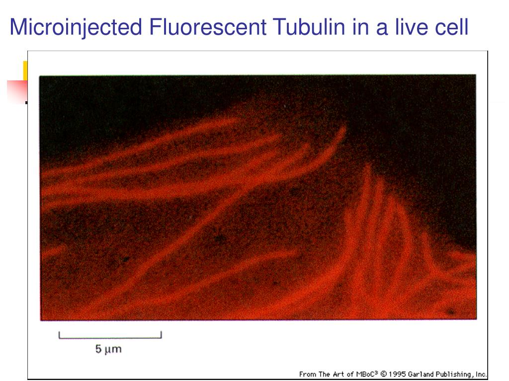 Microinjected Fluorescent Tubulin in a live cell