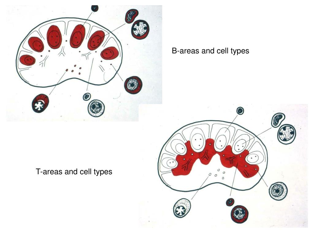 B-areas and cell types