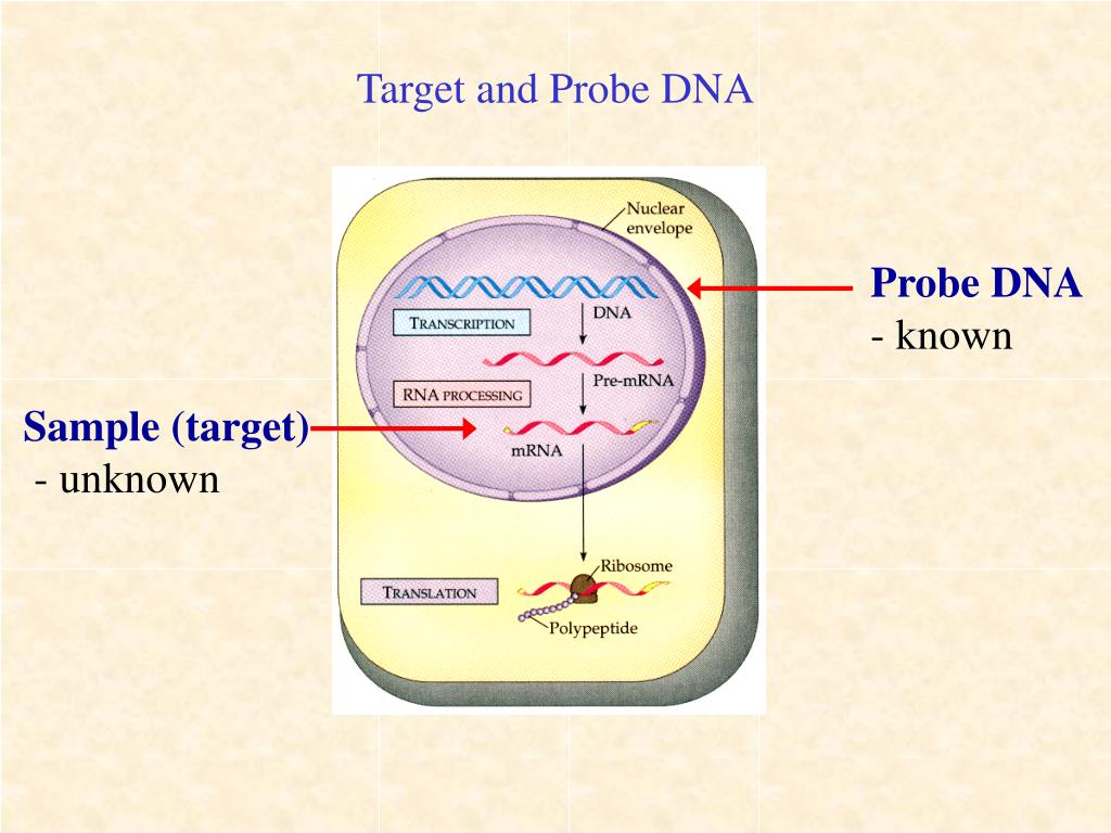 Target and Probe DNA