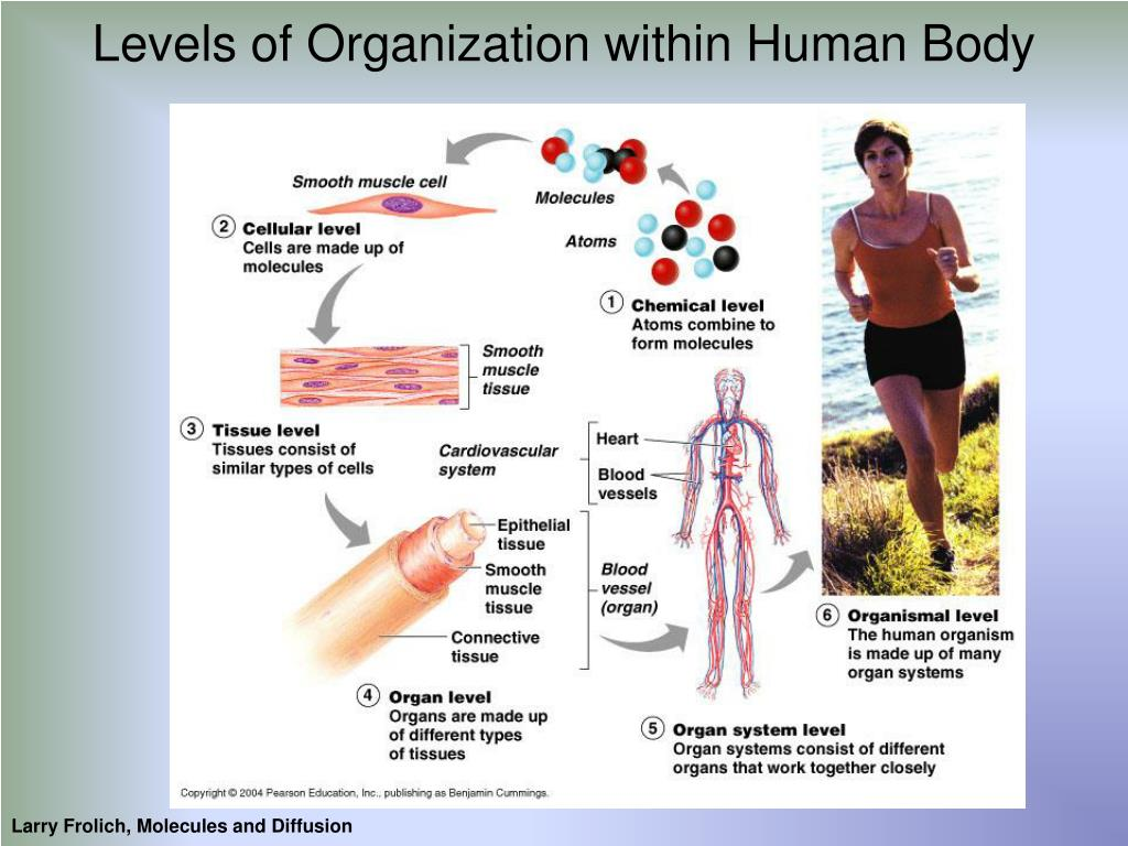 Levels of Organization within Human Body