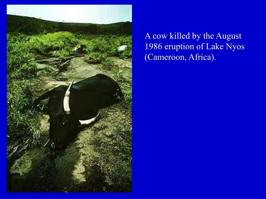 A cow killed by the August 1986 eruption of Lake Nyos (Cameroon, Africa).