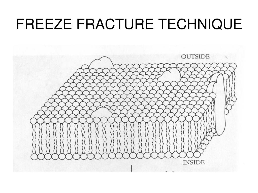FREEZE FRACTURE TECHNIQUE