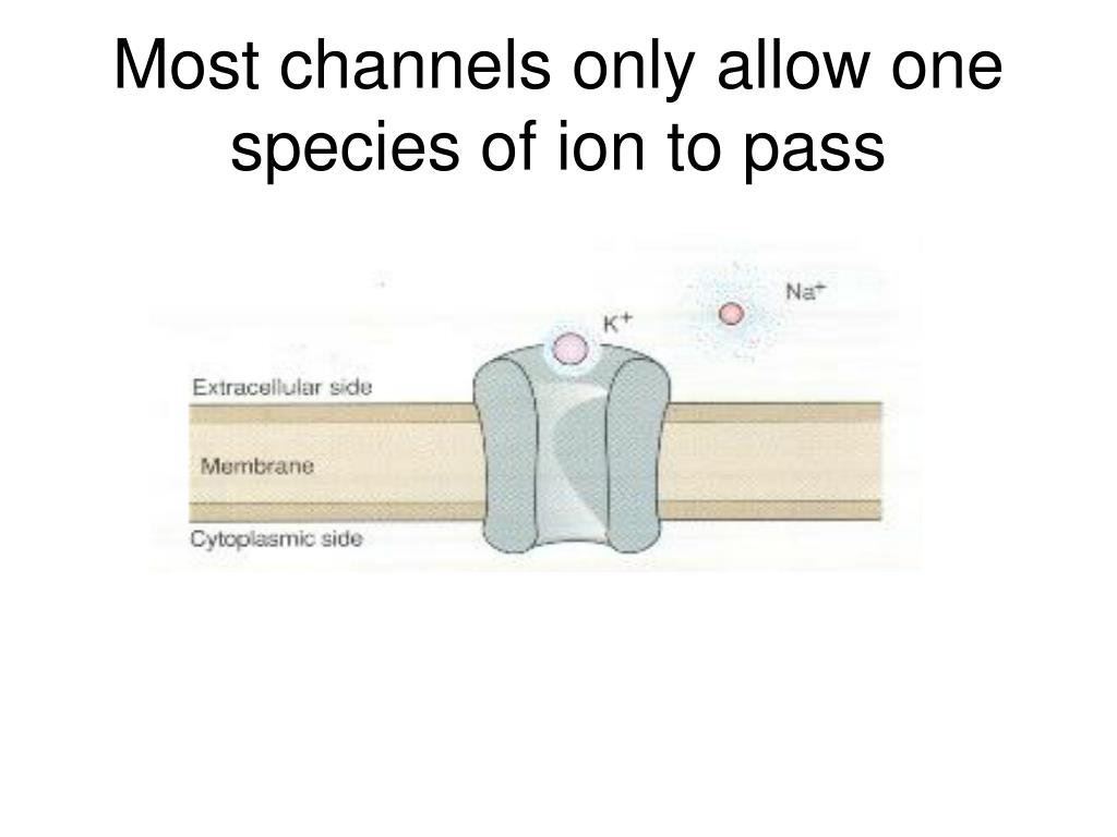 Most channels only allow one species of ion to pass