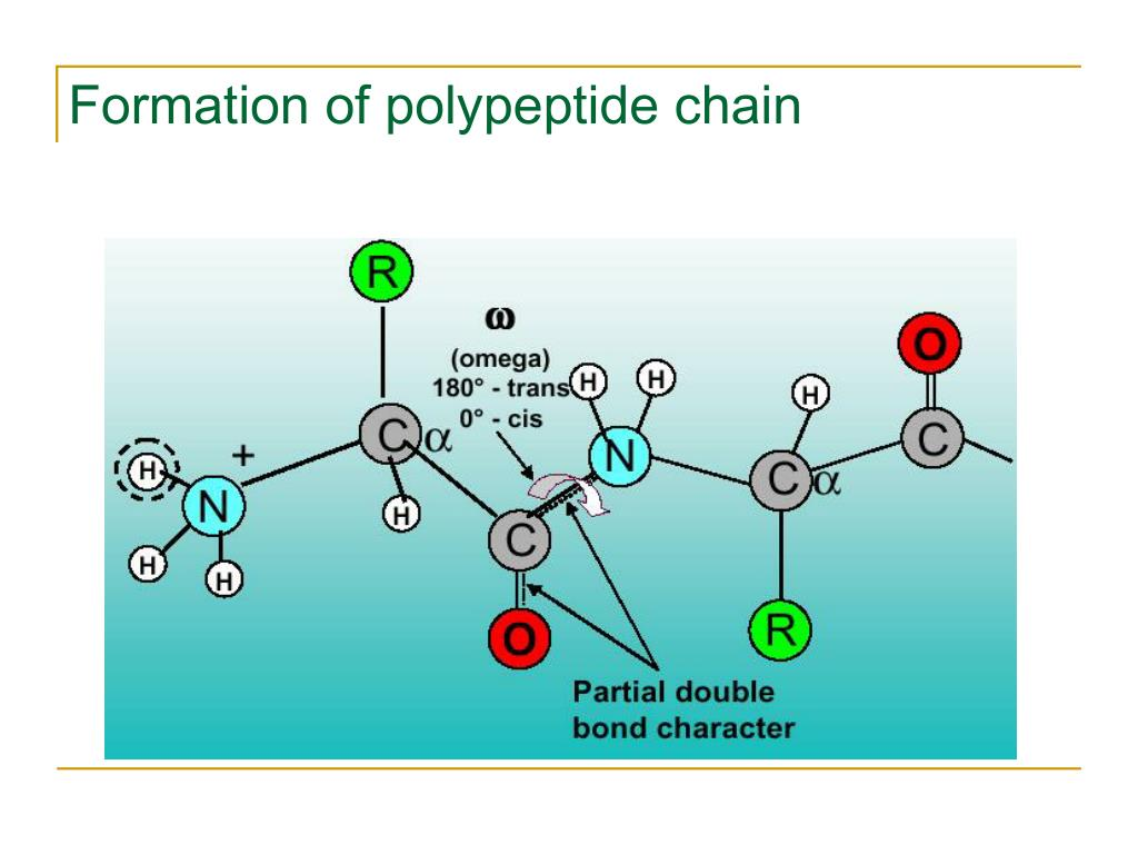 Formation of polypeptide chain