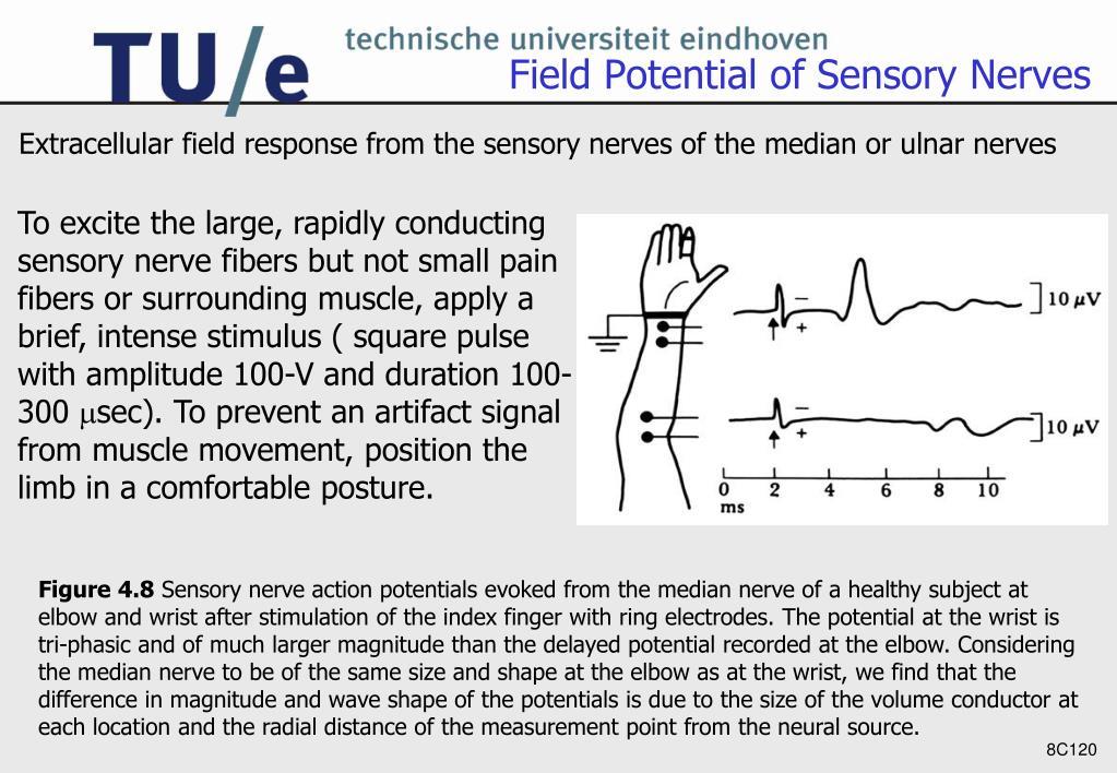Field Potential of Sensory Nerves