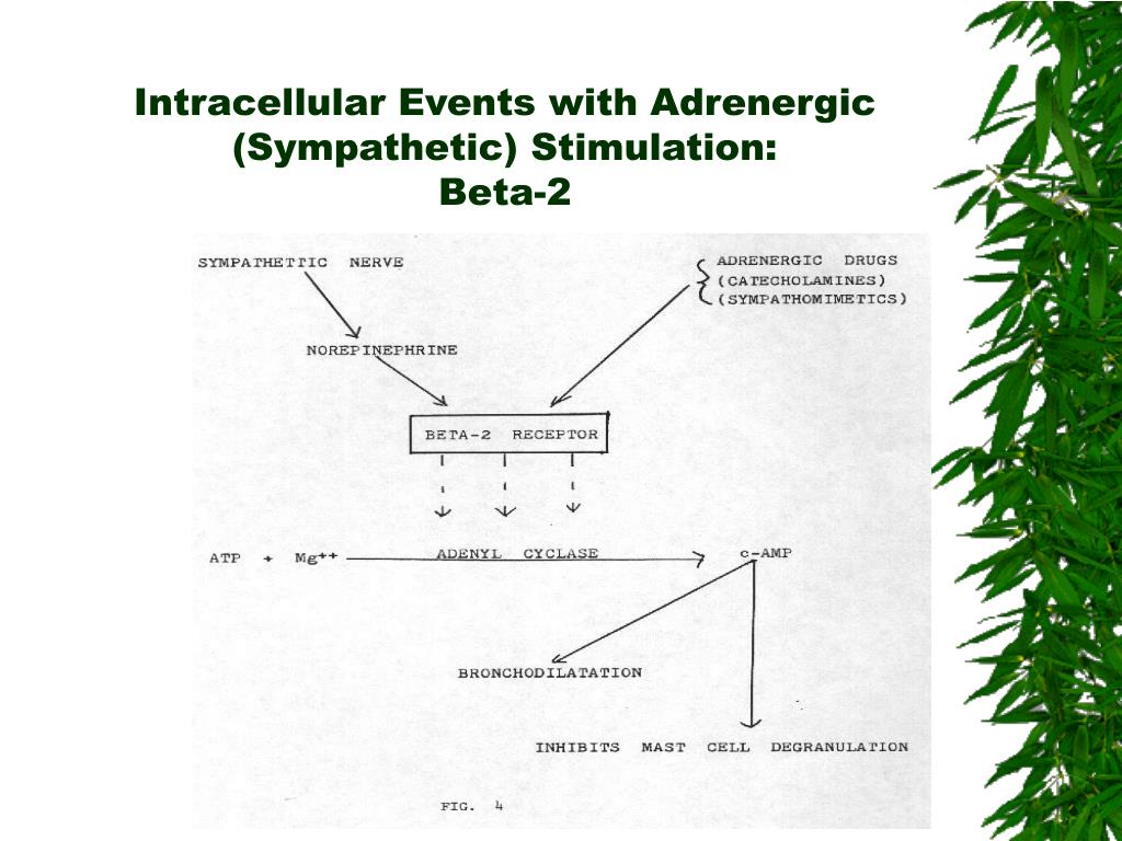 Intracellular Events with Adrenergic (Sympathetic) Stimulation: