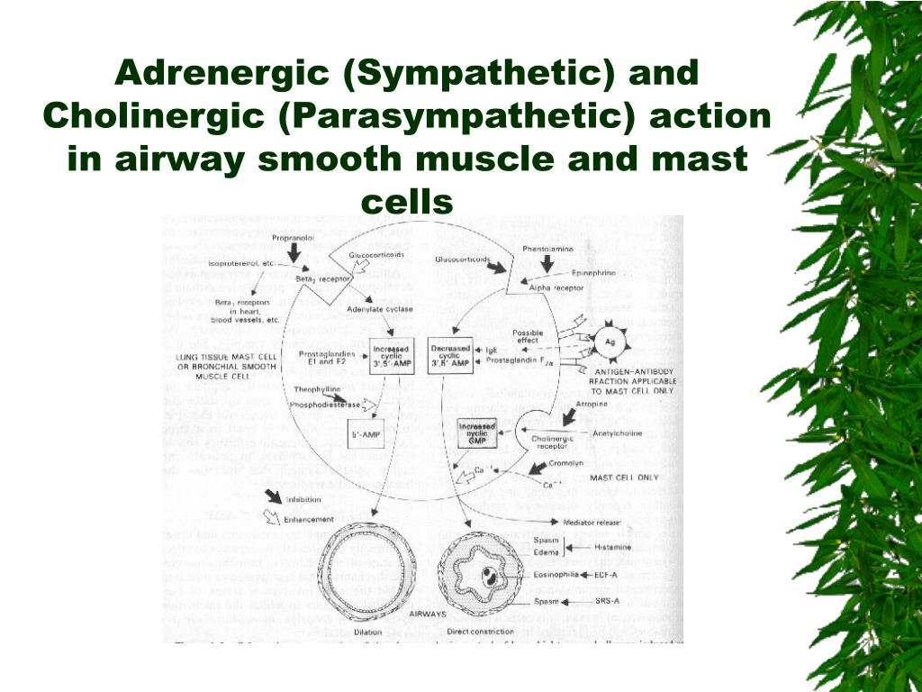 Adrenergic (Sympathetic) and Cholinergic (Parasympathetic) action in airway smooth muscle and mast cells