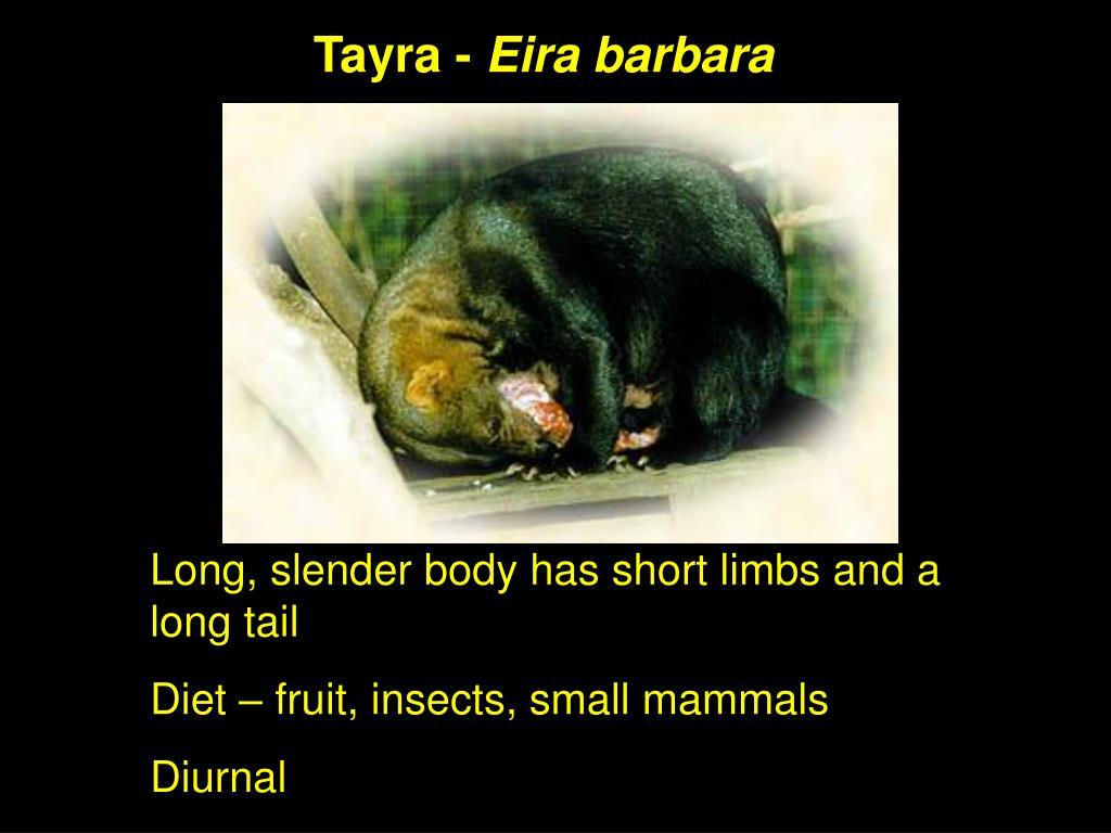 Tayra -