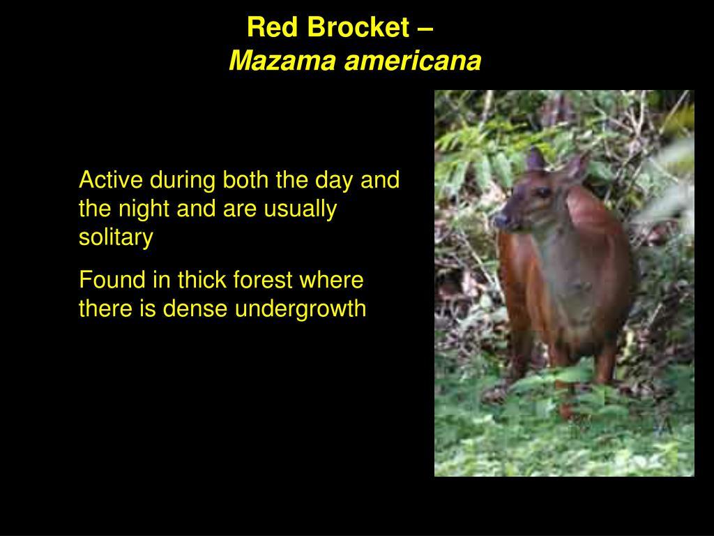 Red Brocket –