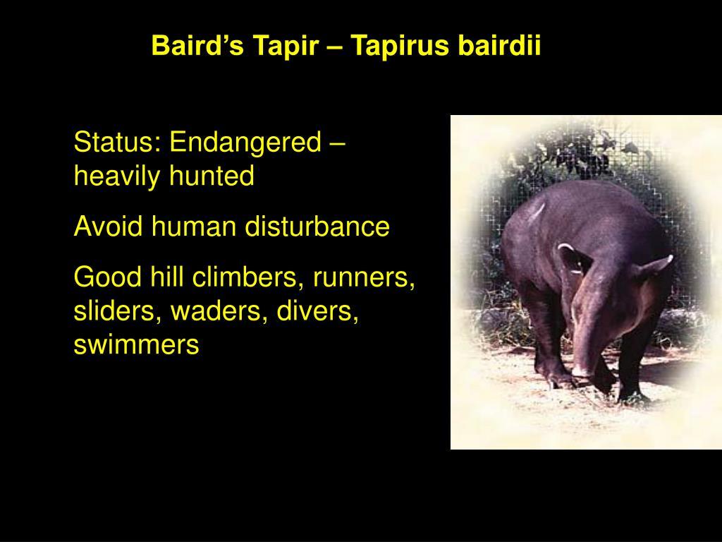 Baird's Tapir – Tapirus bairdii