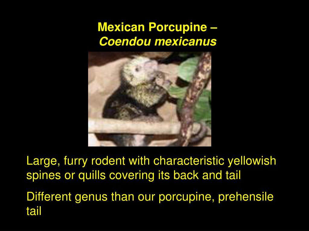 Mexican Porcupine –