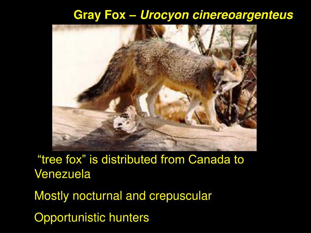 Gray Fox –