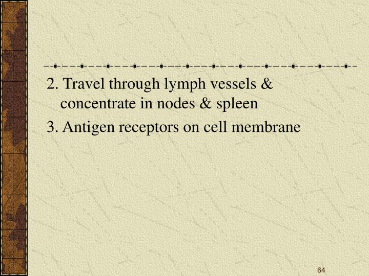 2. Travel through lymph vessels & concentrate in nodes & spleen