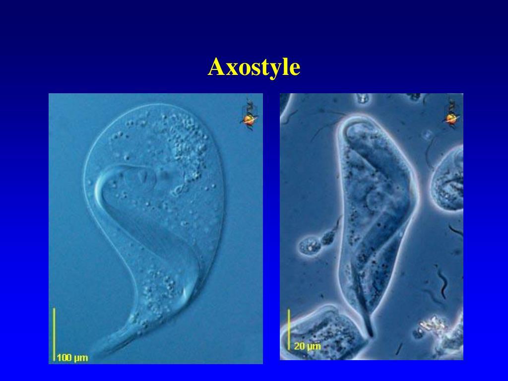 Axostyle