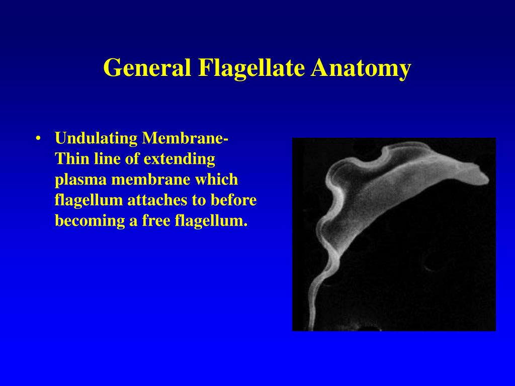 General Flagellate Anatomy