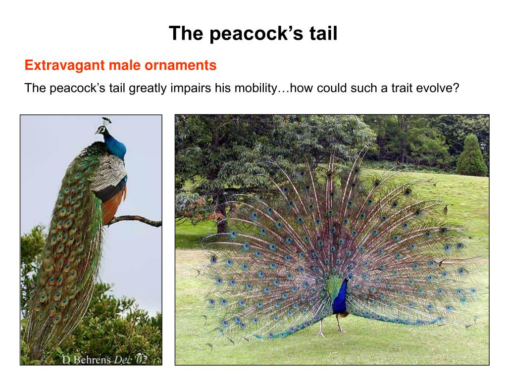 The peacock's tail