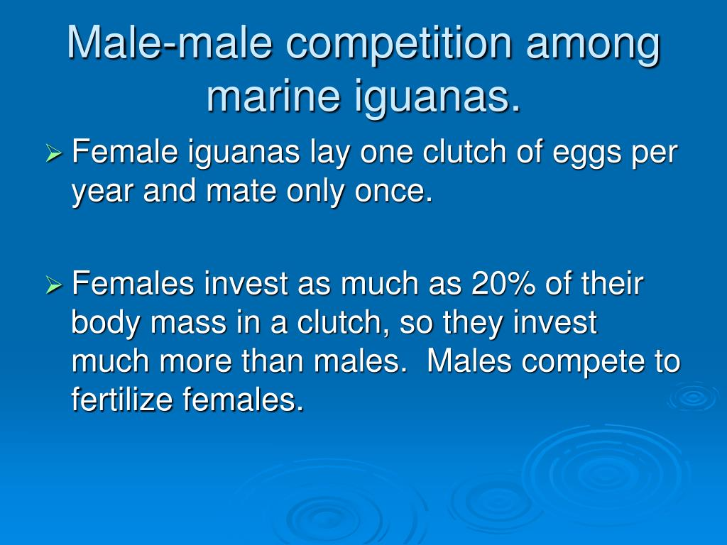 Male-male competition among marine iguanas.