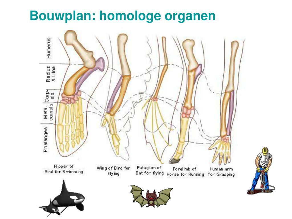 Bouwplan: homologe organen