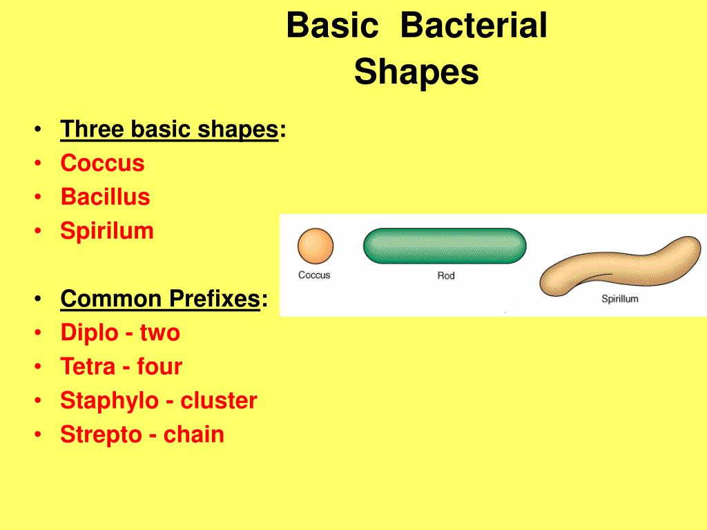 Basic  Bacterial