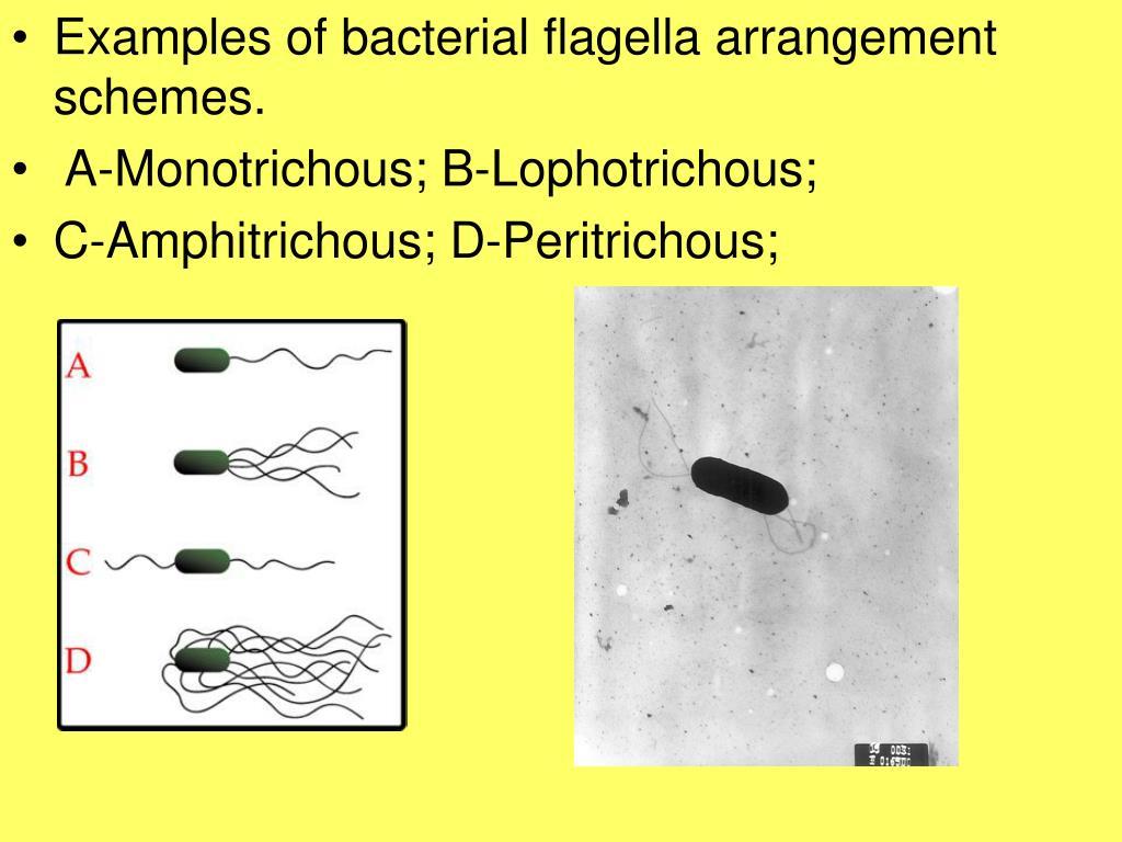 Examples of bacterial flagella arrangement schemes.