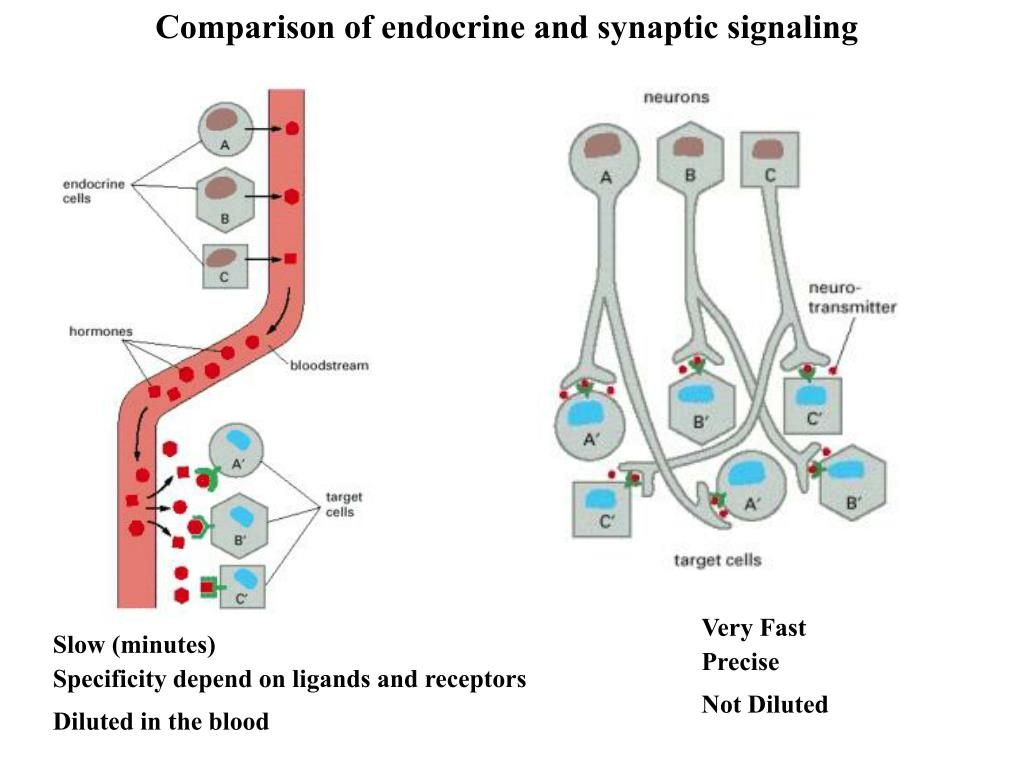 Comparison of endocrine and synaptic signaling