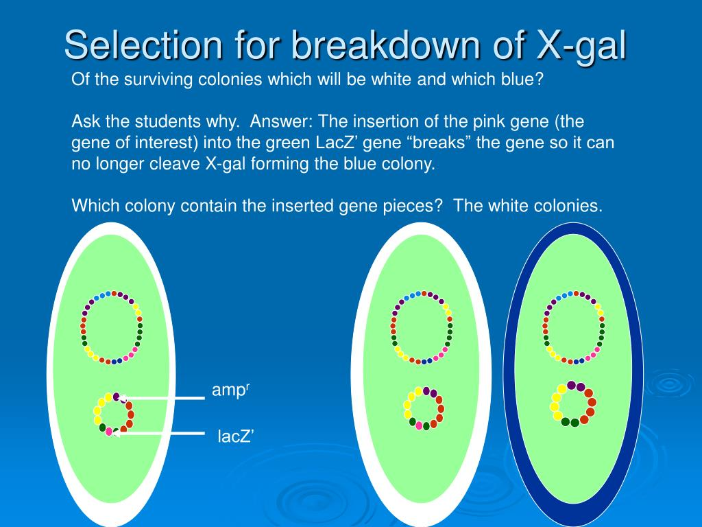 Selection for breakdown of X-gal
