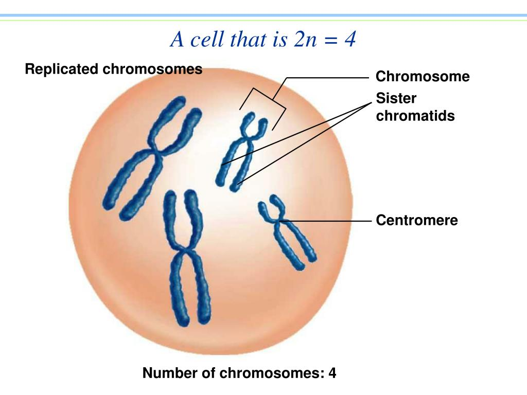 A cell that is 2n = 4