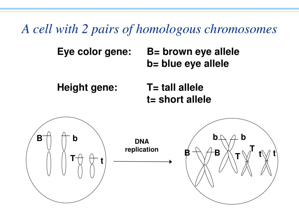 A cell with 2 pairs of homologous chromosomes