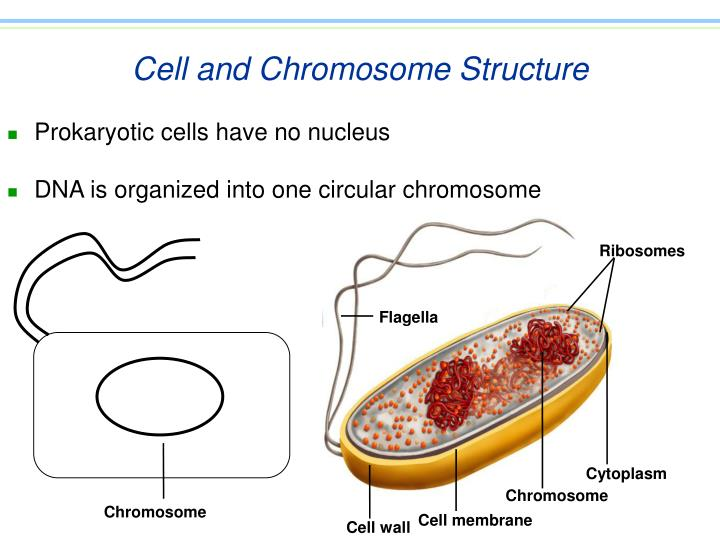Cell and chromosome structure