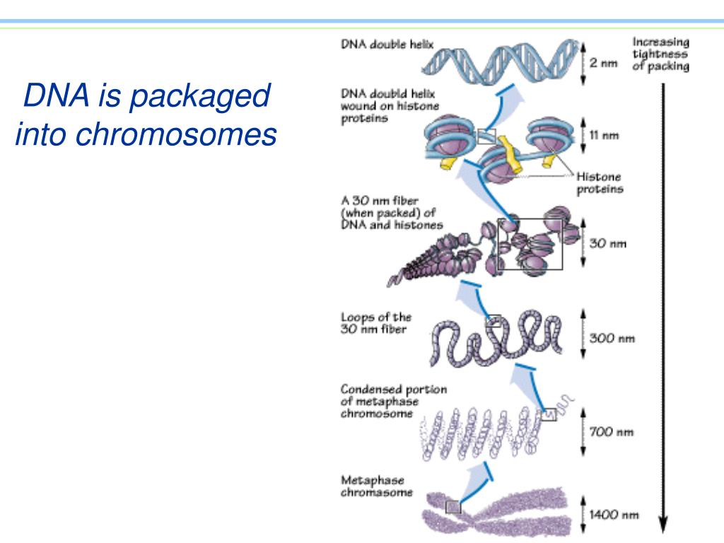 DNA is packaged into chromosomes