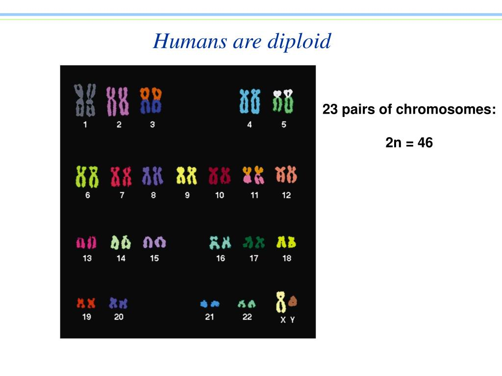 Humans are diploid