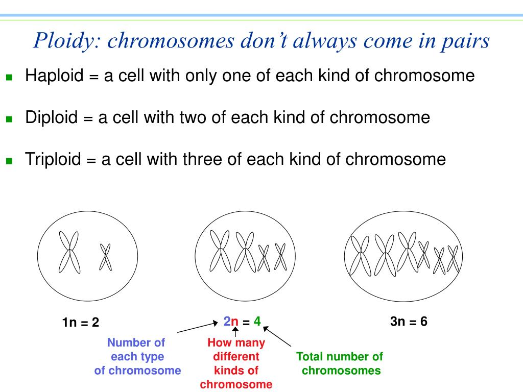 Ploidy: chromosomes don't always come in pairs