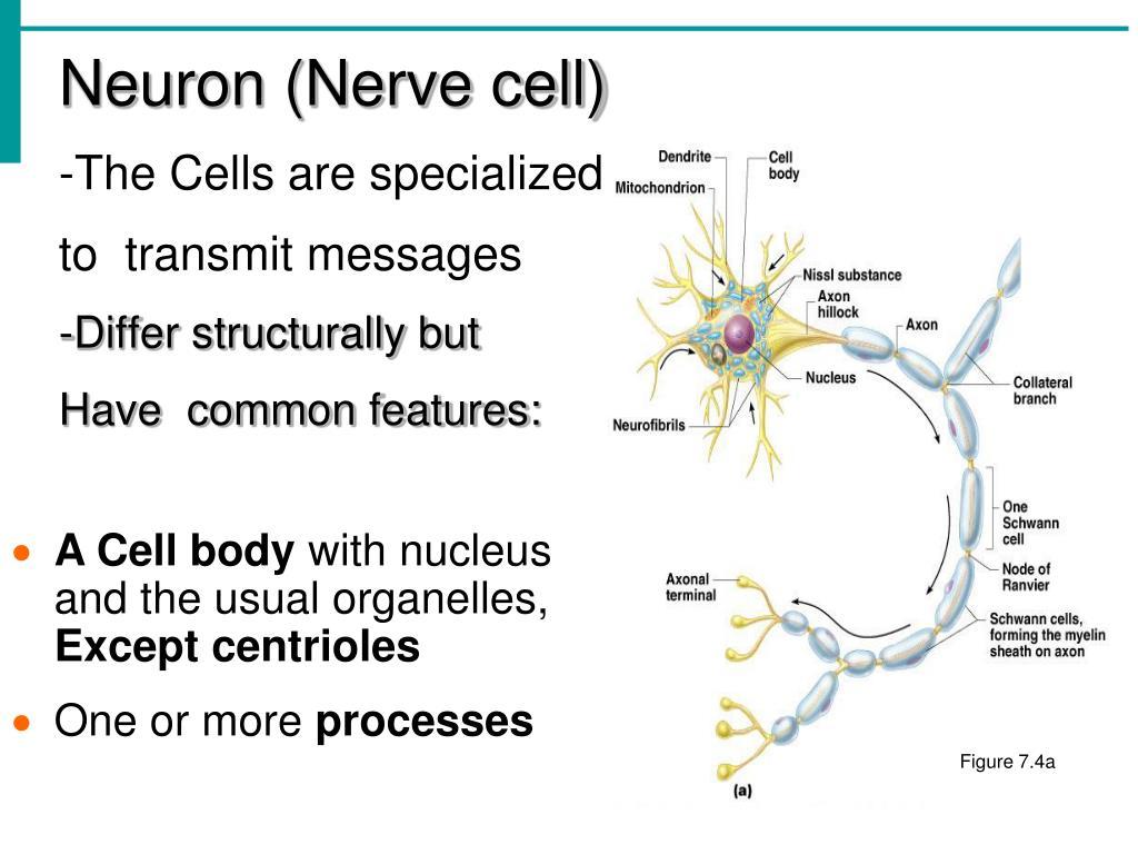 Neuron (Nerve cell)