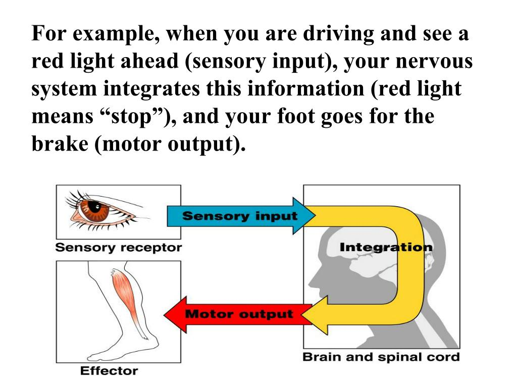 """For example, when you are driving and see a red light ahead (sensory input), your nervous system integrates this information (red light means """"stop""""), and your foot goes for the brake (motor output)."""