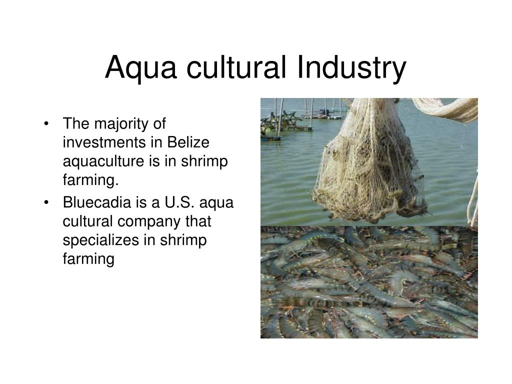 The majority of investments in Belize aquaculture is in shrimp farming.