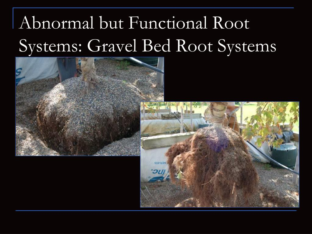 Abnormal but Functional Root Systems: Gravel Bed Root Systems