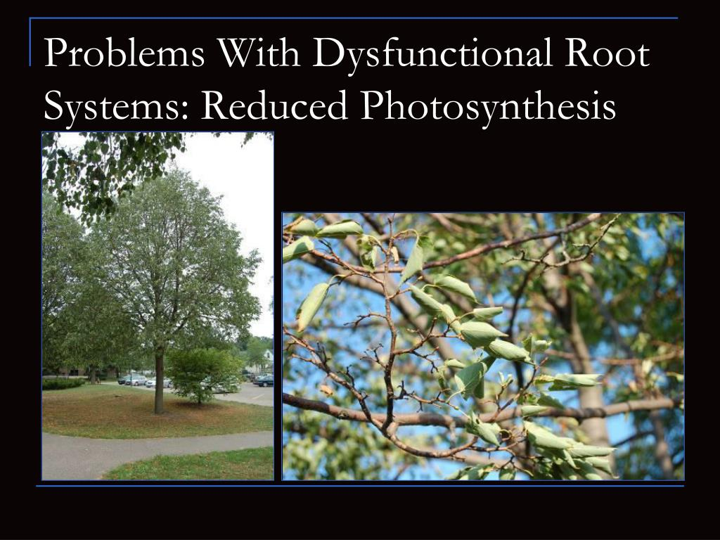 Problems With Dysfunctional Root Systems: Reduced Photosynthesis