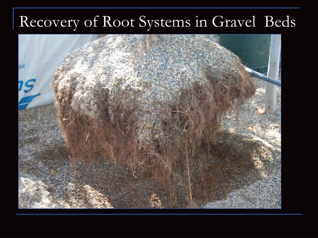 Recovery of Root Systems in Gravel  Beds