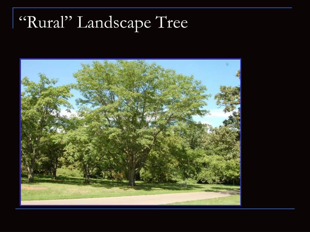 """""""Rural"""" Landscape Tree"""